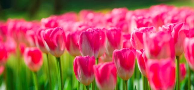 TULIPANOMANIA & SIGURTA'  Un'occasione imperdibile per gli appassionati e per gli amanti della natura per scoprire la più grande fioritura di tulipani del Sud Europa.  Partenza da San Pellegrino, Milano e Bergamo  DOMENICA 12 APRILE 2015    A soli 60 € OFFERTE SPECIALI * BAMBINI, RAGAZZI e OVER 65 *  SCOPRI I DETTAGLI!